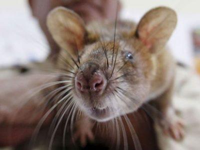 "Leptospirose la ""maladie de rats"""